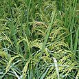 田んぼの稲