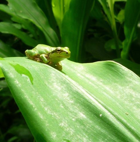 ミョウガの葉で休むカエル・その3