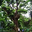 アカギの大木